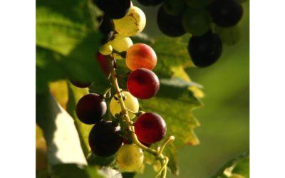 Uva, vendemmia o semplice raccolta…